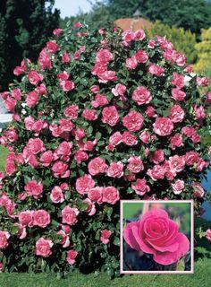Romanze®. Heeft de Duitse ADR onderscheiding voor rozen.Opvallend grote lichtend helder roze bloemen, gecombineerd met prachtig glanzend blad. Romanze® kenmerkt zich door een onafgebroken bloei, kleurvastheid en winterhardheid. Een ideale roos voor vakken en straatbegeleidende beplantingen.