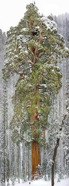 President, a terceira maior sequoia do mundo - As sequoias gigantes são muito conhecidas pela sua altura. Essa da imagem é a terceira maior (a segunda se formos contar com os ramos além do tronco), e está localizada na Califórnia, nos Estados Unidos. Ela tem 73 metros de altura e 28 metros de circunferência, pequena não?