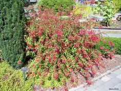 Perennial Fuschia Plant - Check out the free plant identification mobile app at GardenAnswers.com