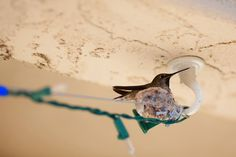 How to raise a hummingbird - the story of a hummingbird nest outside our kitchen window.