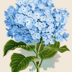 Printable Vintage Blue Hydrangea - Grab it and frame it, or use it in your Art!