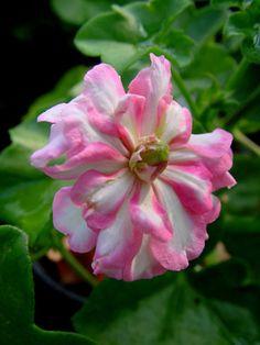 Pelargonium Zeebra Lee