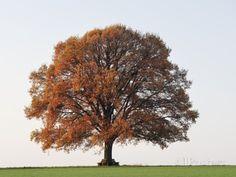 Oak Tree in Autumn Papier Photo