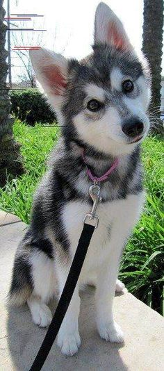Wonderful All About The Siberian Husky Ideas. Prodigious All About The Siberian Husky Ideas. Cute Baby Animals, Animals And Pets, Funny Animals, Funny Dogs, Funny Fails, Farm Animals, Shiba Inu, I Love Dogs, Animals Beautiful