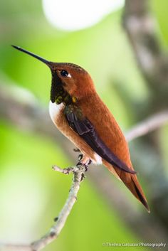 Rufous Hummingbird, found in the western US | by Thelma Gatuzzo