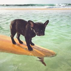 French Bulldog Puppy learning how to 'Hang Ten'❤️❤️