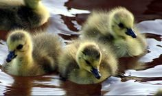 baby ducklings Luv A Duck, Duck Duck, Tweet Tweet, Maya Angelou, Swans, Bird Feathers, Adorable Animals, Ducks, Birds