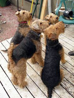 jealous of the owner of these 4 lovelies Fox Terriers, Welsh Terrier, Terrier Breeds, Airedale Terrier, Terrier Dogs, Dog Breeds, Dogs And Puppies, Doggies, My Animal