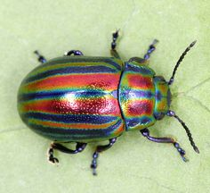 "The Extremely Rare Rainbow Leaf Beetle Is A Major Treat For The Eyes : ""At only 5.5 – 10 mm in length, the Rainbow Leaf Beetle(Chrysolina cerealis) i  is arguably the most beautiful beetle in all of Britain. It has long bands of red, green, and purple running down its wing cases, or ""elytra.""  By Carly B"
