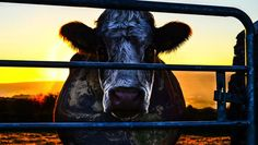 Cowspiracy: As California Faces Drought, Film Links Meat Industry to Water Scarcity & Climate Change -- April 7, 2015