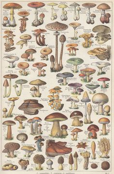 1908 Antique French mushroom print fungi, botanical illustration, ready for framing Mushroom Art, Vintage Images, Botanical Art, Illustration, Botanical Illustration, Botanical Prints, Scientific Illustration, Art, Prints