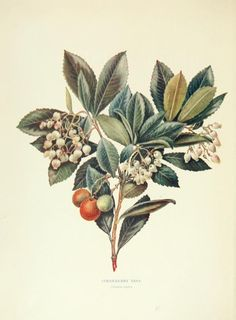 1 - Trees and shrubs of the British Isles; - Biodiversity Heritage Library
