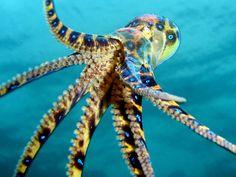 Scuba Diver Life Blue Ring Octopus