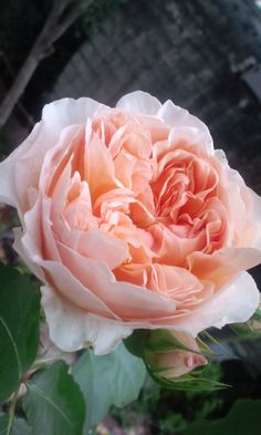 "English rose ""Evelyn"""