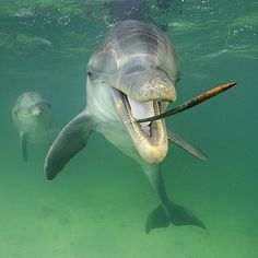 Photo by @BrianSkerry A bottlenose dolphins plays with a seed pod from a mangrove plant in the waters off Honduras. Game play is one of the ways we know dolphins to be smart. With the second largest brains relative to body size in the animal kingdom after humans dolphins are highly intelligent animals though much of their lives remain a mystery. Coverage from the May 2015 @natgeo cover story on dolphin cognition. Follow @BrianSkerry to see more ocean wildlife pictures! #dolphins #nature…