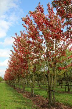 Acer x freemani 'Autumn Blaze' (syn. 'Jeffersred')