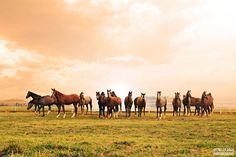 Malatya - Sultansuyu Tarım İşletmeleri - Yarış Atları Yetiştiriciliği  Fotoğraf: Feytullah Güleç