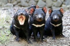 Baby tasmanian devils.
