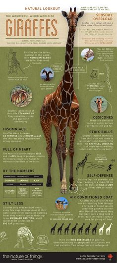 As It's World Giraffe Day Heres An Infographic With Some Cool Facts!
