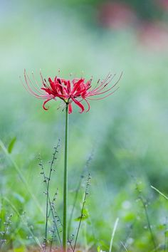 A beautiful photograph by James Cory Flowers Nature, Love Flowers, Wild Flowers, Beautiful Flowers, Garden Bulbs, Planting Bulbs, Lilly Plants, Red Spider Lily, Virtual Flowers