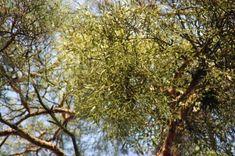 Pine treetops with big mistletoe bunch Music Files, Mistletoe, Pine, Photo Editing, Stock Photos, Fine Art, Plants, Pictures, Photography