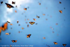 butterfly migration photography - Google Search