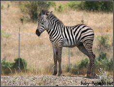 Photo of zebra foal for fans of Baby Animals 19893133 Baby Animals, Cute Animals, Animal Babies, Wild Animals, Zebra Drawing, Zebra Pictures, Mountain Zebra, Baby Zebra, Pretty Baby