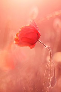 Poppy Macro Wallpaper. #poppy #macro #flowers #iphone #wallpaper