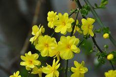 Winter Jasmine: Jasminum nudiforum - Japanese Name: Obai