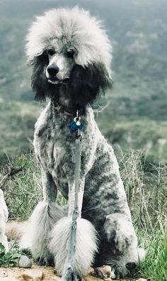 Poodle The Adorable Dog - The Pooch Online Poodle Cuts, Pet Dogs, Pets, Pet Grooming, Grooming Salon, Happy Dogs, Dog Life, I Love Dogs, Dog Breeds