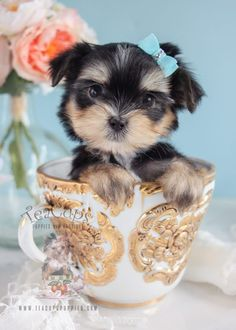 Toy Teacup Puppies For Sale Teacup Morkie, Morkie Puppies, Teacup Puppies For Sale, Yorkie Puppy, Beagle Puppy, Poodle Puppies, Havanese, Yorkies, Corgi