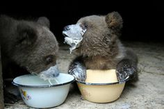 Baby bears with their milk bowls.