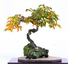 Improving Upon Office Environment Air Excellent With Indoor Crops - Superior For Business Bonsai Succulent Bonsai, Bonsai Plants, Bonsai Garden, Garden Trees, All Plants, Indoor Plants, Indoor Outdoor, Bonsai Trees, Succulents