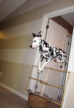 jumping dalmatian  ava is quite the jumper!   #dalmatian