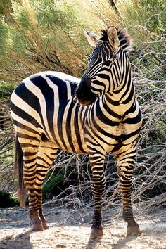 This regal zebra lives at a zoo in the Phoenix area. Zebra Pictures, Wild Animals Pictures, Animal Pictures, African Animals, African Safari, Beautiful Horses, Animals Beautiful, Jungle Animals, Cute Animals