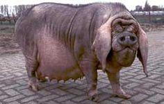 should have called it a basset hound pig. Red River Hog, Pig Breeds, Pet Snake, Funny As Hell, Basset Hound, Nature Animals, Livestock, Animal Pictures, Elephant