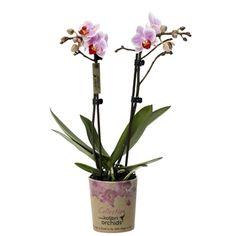 Little kolibri orchid belem Orchids, Glass Vase, Belem, Home Decor, Homemade Home Decor, Lilies, Decoration Home, Orchid, Interior Decorating