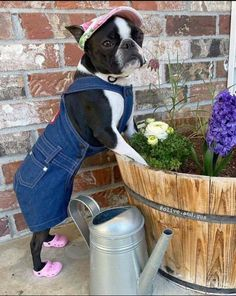 Baby Pugs, Baby Puppies, Cute Puppies, Cute Dogs, Bulldog Puppies, Boston Terrier Love, Boston Terriers, Black Lab Puppies, Dog Lady