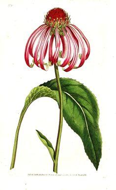 Free antique cone flower images