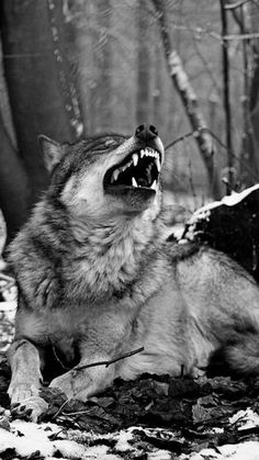 Wolf: Ehehehehe Me: What in the world are you taking? Wolf: Ehehehehe Me: What in the world are you taking? Wolf Photos, Wolf Pictures, Animal Pictures, Beautiful Creatures, Animals Beautiful, Cute Animals, Wolf Spirit, My Spirit Animal, Wolf Hybrid