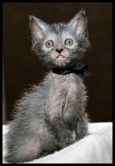 "Lykoi ""werewolf"" cat.  these are truly awesome cats!"