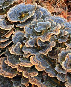 ☆ Turkey Tails -1- Rainbow bracket fungus (Trametes versicolor), Appalachian Park, Northampton County :: By Nicholas A. Tonelli ☆