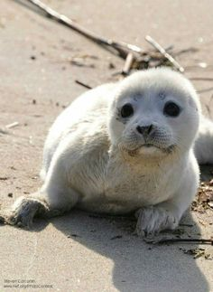 Harbor Seal Pup - 15 Adorable Wildlife Puppies for National Puppy Day Seal Pup, Baby Seal, Beautiful Creatures, Animals Beautiful, Animals And Pets, Baby Animals, Wild Animals, Cute Seals, Harbor Seal