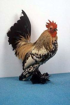 Shake your tail feathers, Daddy! ♥♥♥ Previous pinner posted: Chicken Breeds