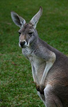 Grey Kangaroo, quite common in Australia #Kangaroos