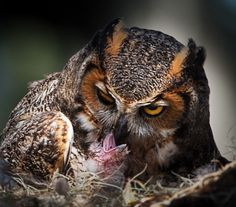 Great Horned Owl Feeding Newly Hatched Owlet - Stephen Tabone