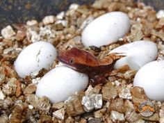 Sexing and Breeding Crested Geckos