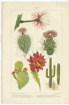 Vintage Botanical Color Plate Cacti by PrimitivePapers1903 on Etsy, $10.00