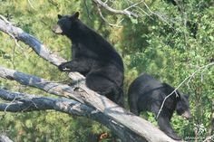 Our NEW Black Bear exhibit opened today!