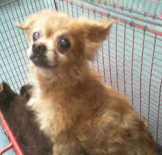 06/29/15-FLUFF (A1708197) I am a male gold Pomeranian. The shelter staff think I am about 9 years old. I was found as a stray and I may be available for adoption on 07/03/2015. Miami Dade https://www.facebook.com/urgentdogsofmiami/photos/pb.191859757515102.-2207520000.1435431950./1002449223122814/?type=3&theater